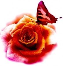Rose et papillon 21326578